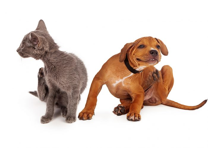 a cat and dog scratching themselves due to fleas and ticks