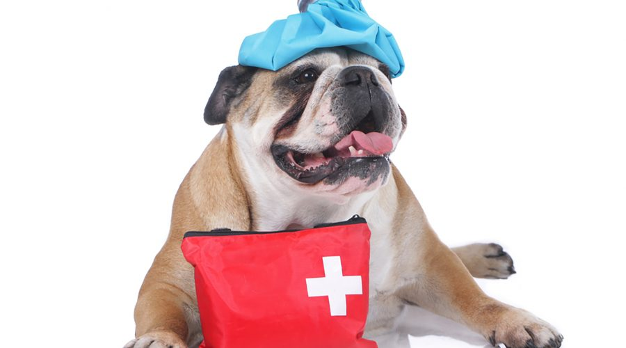 Image of a buldog with an icepack on its head, seated next to a first aid kit
