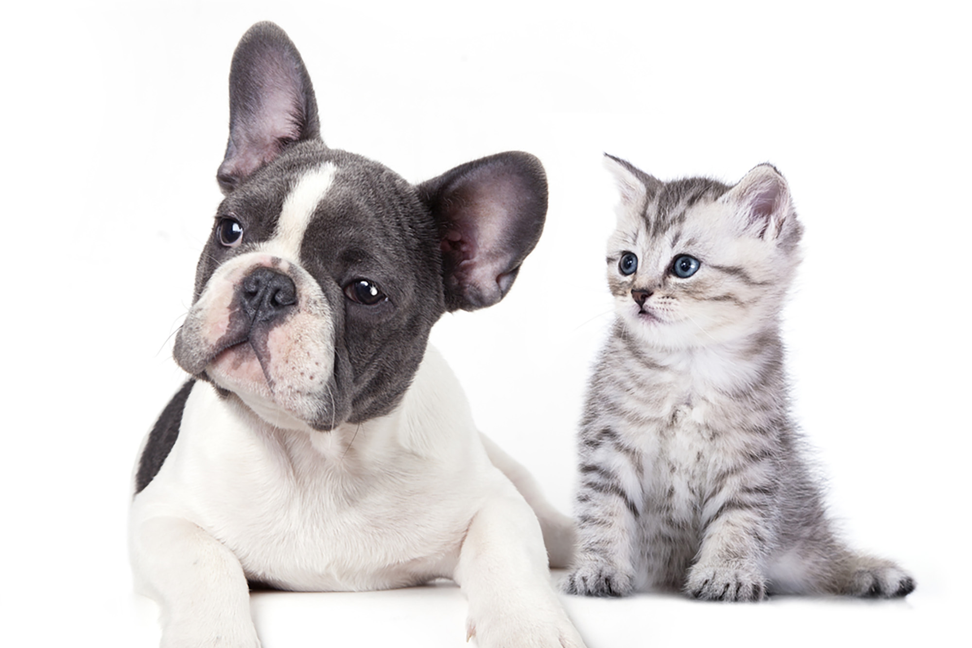 A bulldog and a kitten sitting together