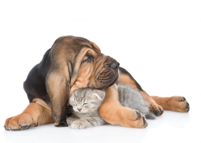 Image of a bloodhound dog and a young kitten cuddling together